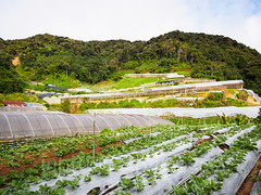 Vegetable farm in Cameron Highlands (whitworth images) Tags: lines hothouse rows cabbage southeastasia cameronhighlands brinchang agriculture horticulture plastic broccoli malaysia farm green asia pahang greenhouse