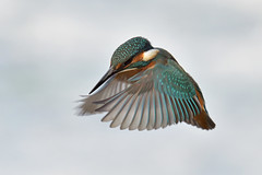 Kingfisher in flight (KHR Images) Tags: kingfisher alcedoatthis inflight flying hovering lackfordlakes suffolk eastanglia wild bird wildlife nature nikon d500 kevinrobson khrimages