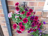 Lovely Petunias (wallygrom) Tags: england westsussex angmering
