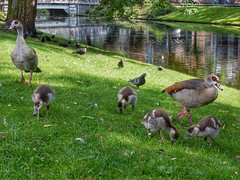 Family Egyptian Goose (sander_sloots) Tags: nijlgans noordsingel rotterdam halfgans exoot egyptian goose geese ducklings pigeons canal ditch sloot singel vogel bird kuikens duiven waterkant alopochen aegyptiaca ganso nil goslings