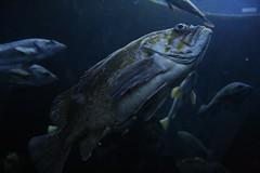 Fish/Poisson (unknown sp.) (Andrew-1 (Thanks for 8500+ Favourites!)) Tags: life living alive live vie vivant nature inside indoors underwater aquarium aquariumdequébec québecaquarium animal vida flickrsbestcreatures
