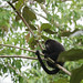 Endangered Black Howler Monkey