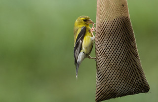 Gold Finch Eating