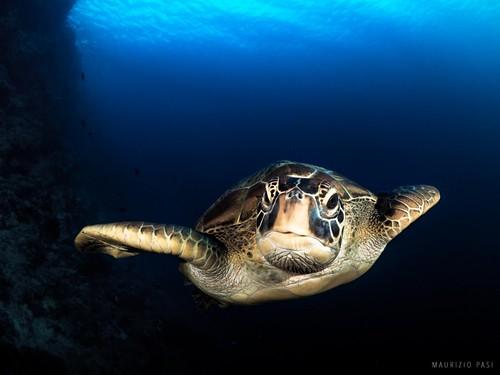 CelebesDivers - underwater 75 (Chelonia Mydas)