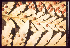 fern (francois f swanepoel) Tags: abstract abstrak fern lab lablaboratoriumlaborotory laboratorium laborotory macro makro micro microscope mikro mikroskoop organismes organisms patrone patterns slidescans spore spores varing