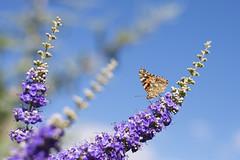Macro butterfly (Peeb-OK) Tags: macro butterfly amazing vibrant colorful beautiful nikon micro colors nature oklahoma