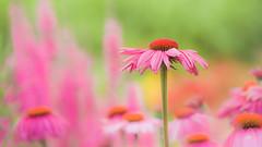 Summer (paulapics2) Tags: summer outdoor nature garden fleur flora pink bright colourful echinacea coneflower blümen july plant canoneos5dmarkiii canonef70300mmf456lisusm hydehallgardens rhshydehall