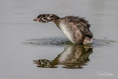 The Big Stretch! (craig goettsch - out shooting) Tags: piedbilledgrebe hendersonbirdviewingpreserve2017 juvenile bird avian water nature wildlife animals nikon d500 ngc