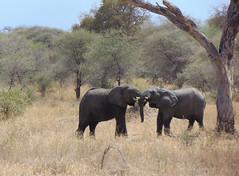 DSC00107 (francy_lioness) Tags: zebra giraffa elefante leonessa bufalo leoni lions tarangirenationalpark parks tanzaniasafari safari africasafari
