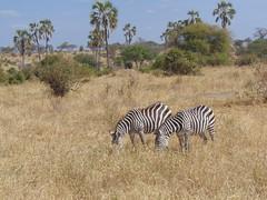 DSC00129 (francy_lioness) Tags: zebra giraffa elefante leonessa bufalo leoni lions tarangirenationalpark parks tanzaniasafari safari africasafari