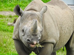 Chewing rhino (Artybee) Tags: yorkshirewildlifepark ywf zoo animal wild rhino