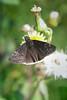 Erynnis funeralis (Funereal Duskywing) male (K. Zyskowski and Y. Bereshpolova) Tags: hesperiidae pyrginae funereal duskywing erynnis funeralis texas