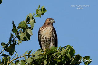 Red-Tailed Hawk  ( Butep Jamaicensis )