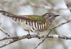 Shining Bronze-cuckoo (christinaportphotography) Tags: shiningbronzecuckoo chrysococcyxlucidus cuckoo boreenpt noosa queensland australia bird birds wild free focus dof