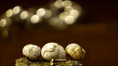 Three Snails (YᗩSᗰIᘉᗴ HᗴᘉS +7 000 000 thx❀) Tags: snail animal macro bokeh bokehlicious beyondbokeh three hensyasmine sony helios helios442 7dwf