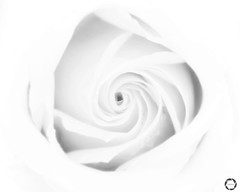 R O S E  |  B & W (NadzNidzPhotography) Tags: love pure purity whiterose white nature amateur flora nadznidzphotography blackandwhite building bud rose soft delicate rosebud bw blackandwhitephotography 7dwf fujifilmxt10 fujifilm fujinon fujinonxf1855mmf284rlmois fuji flower flowers abstract closeup petals stilllife