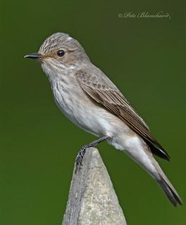 Spotted Flycatcher (explored)