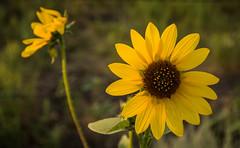 Prairie Sunflower (Nancy King Photography) Tags: flower wildflower macro sandhills sunflower nebraska pineridge prairie