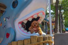 Sicily bids the world adieu... (tquist24) Tags: cavapoo michigan nikon nikond3400 sicily stjoseph cute dog geotagged puppy sculpture shark summer teeth saintjoseph unitedstates