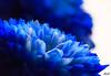 Project 365; #252 (iMalik1) Tags: blue macrophotography petals canoneos600d photooftheday bokeh stilllife makeitealing snappedinealing ealing patterns getwestlondon project365 flower photoadaychallenge londonphotographer canonwhatelse canonuk london canonphotography mycanon potd 252 macro closeup depthoffield