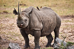 Black Rhinoceros with Oxpeckers (vicentelai) Tags: rhino rhinoceros blackrhinoceros africa serengeti big5 oxpecker