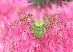 colorful nightmare (hennessy.barb) Tags: spider lynxspider greenlynxspider greenandpink pinkandgreen colorful nightmare peucetia viridans peucetiaviridans barbhennessy