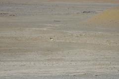 IMG_0306 (y.awanohara) Tags: tibet wildlife scenery ngari may2017