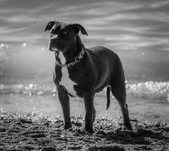 I Stand on Guard for Thee (Katrina Wright) Tags: dsc3241 dog rottweiler tide beach expectant waiting concentration loyalty