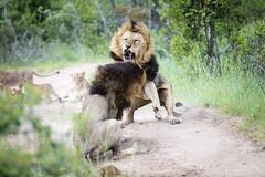 Lion fight (Sheldrickfalls) Tags: lion lionfight blackmanedlion sabisands nottensbushcamp krugernationalpark kruger krugerpark mpumalanga southafrica coth5 sunrays5