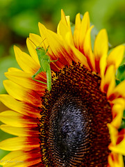 Selenite on Sunflower (dngovoni) Tags: flower virginia bug burnside grasshopper insect macro summer sunflower wildlife