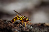 It's only after being stung,  (55-300mm) (knoxnc) Tags: stingrepeatedly wings nikon nature d7200 yellowjacket wasps closeup outside summer yellowandbalck bokeh colonies sunlight stingers stings ninety lancelikestingerswithsmallbarbs specanimal sunrays5