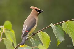 Jaseur d'Amérique // Cedar Waxwing (Alexandre Légaré) Tags: nikon d3200 jaseurdamérique cedarwaxwing bombycillacedrorum oiseau bird martinville