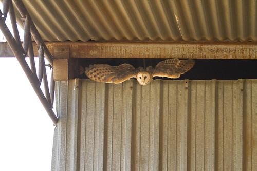 Western Barn Owl , emerging from barn _9278
