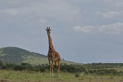 20170615_2249_Masai Mara_Girafe Masai (fstoger) Tags: kenya masaimara viesauvage wildlife safari girafe girafemasai masaigiraffe afrique africa