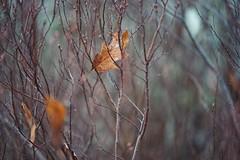 autum is coming (christian mu) Tags: nature bokeh leaf münster muenster germany schlossgarten botanicalgarden botanischergarten christianmu zeiss batis 85mm batis8518 8518 sonya7ii sony