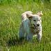 Honey running in grass in Van Norden Meadow-01 7-20-17