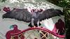 2017-08-06 14-41-46 _K1_4126ak (ossy59) Tags: k1 pentax oberursel oberurselerfeyerey dfa hdpentaxdfa28105mmf3556eddcwr 28105 blaubussard blauadler blackchestedbuzzarseagle adler eagle aguila aguja aguilaescudada geranoaetusmelanoleucus kordillerenadler