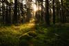 Shine on me (aramfranke) Tags: forest light lighting morning green grass tree moss gold rays germany landscape nature nikond5500 nikon morninglight