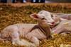 Lamb (gvonwahlde) Tags: mn minnesota statefair minnesotastatefair mnstatefair miracleofbirth lamb animals babyanimals canon vonwahlde