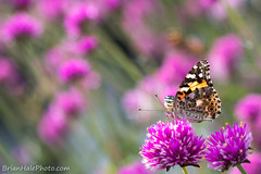 14-watermark-L (Brian M Hale) Tags: insect butterfly butterflies painted lady paintedlady nature outside outdoors tower hill botanic garden botanical boylston ma mass massachusetts brian hale brianhalephoto