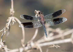 Band-winged Dragonlet (sbuckinghamnj) Tags: stlucia caribbean lesserantilles dragonfly odonata bandwingeddragonlet insect