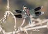 Band-winged Dragonlet (sbuckinghamnj) Tags: stlucia caribbean lesserantilles dragonfly odonata bandwingeddragonlet insect
