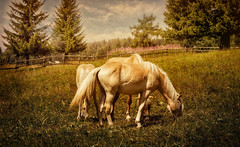 * (clo dallas) Tags: cavalli horses landscape nature animals clouds sky mountain montagna carezza italy meadow flowers equines