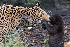 jaguar Rica and cub artis BB2A5998 (j.a.kok) Tags: rica artis animal mammal zoogdier dier jaguar jaguarcub blackjaguar zwartejaguar pantheraonca zuidamerika southamerica kat cat motherandchild moederenkind predator