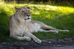LION (DrTeNFeet) Tags: lion löwe canon 60d givskud zoo denmark dänemerk dk 70200 eos grün green braun brown tiere tier animal katze cat animals wildlife wilslife raubkatze natur nature