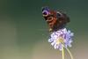 Paon du jour (Nymphalis io) (aurelien.ebel) Tags: alsace animal basrhin france inachisio insecte lawantzenau nymphalidae nymphalinae nymphalisiolinnaeus 1758 paondujour papillondejour rhopalocères
