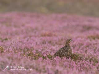 Red grouse-8