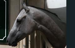 contemplating (ranchodon) Tags: racehorse stable explore