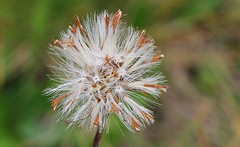 Alpine Seedhead (Austria) (2) (Richard Collier - Wildlife and Travel Photography) Tags: naturalhistory austria zillertal flora seedhead alpineseedhead ngc