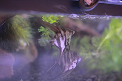 IMG_2929 (artistshell) Tags: 樹蛙 生態缸 莫氏樹蛙